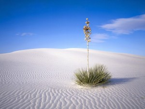 Yucca_Tree,_White_Sands_National_Monument,_New_Mexico,_USA copy
